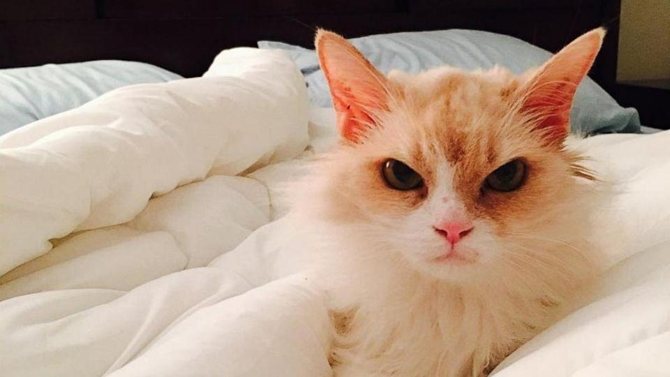 Fierce Feline Named 'Angry Pearl' Goes From Shelter to Viral Stardom (ABC News)