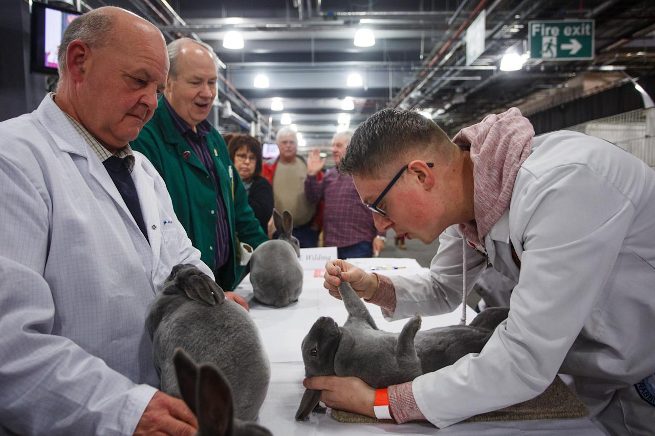 <p>The show is open to cavies, gerbils, hamsters, mice, rabbits and rats – with some breeders travelling from as far afield as Sweden and the US to compete [Picture: SWNS] </p>