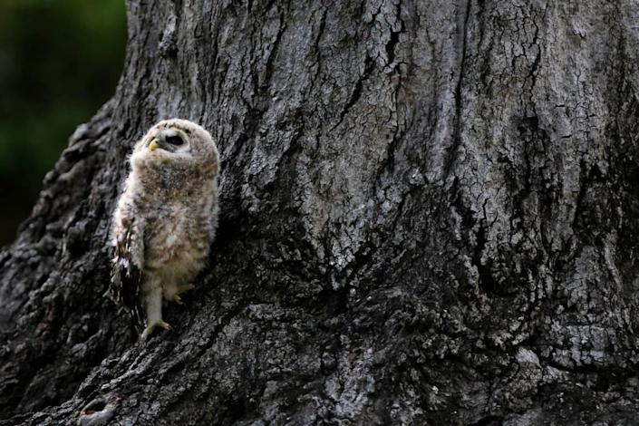 A baby Barred owl looks up to a parent in Melrose Heights where it fell from it's nest. Neighbors have been keeping an eye on the bird, who is too young to fly, and have made a nest for it, a little lower to the ground.
