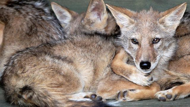 Cloned Coyotes Claimed by Once-Disgraced Korean Scientist (ABC News)
