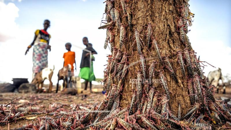 New wave of locusts threatens millions in Africa