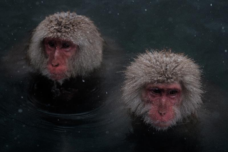 """Japan's """"snow monkeys"""" are known for their love of hot springs in the country's northern Nagano region, with tourists flocking to photograph the mediating macaques soaking in steaming baths (AFP Photo/YASUYOSHI CHIBA)"""