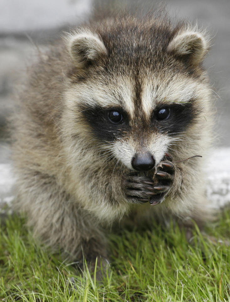 A two-month-old Raccoon (Procyon lotor) cub walks under the supervision of an employee in the courtyard of the Royev Ruchey zoo in Russia's Siberian city of Krasnoyarsk, June 24, 2011.  REUTERS/Ilya Naymushin  (RUSSIA - Tags: ANIMALS)