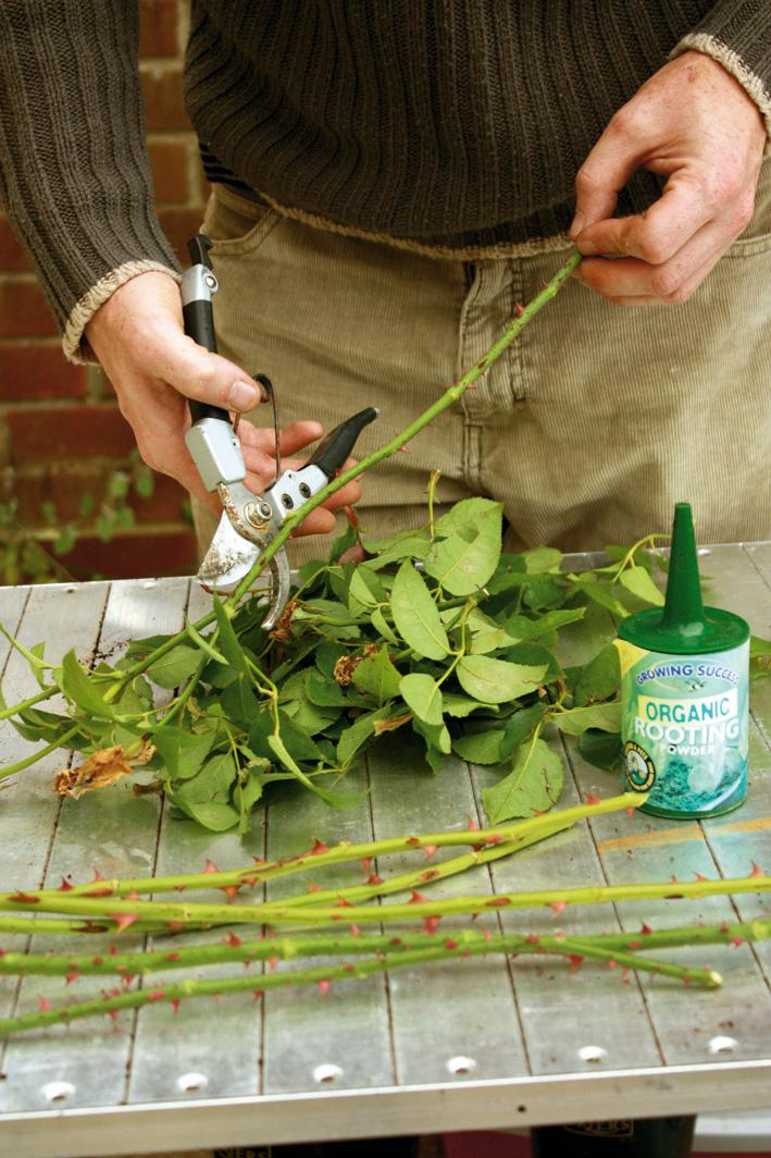 how to take rose cuttings
