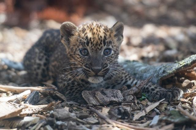 Sri Lankan leopard cubs at Banham Zoo