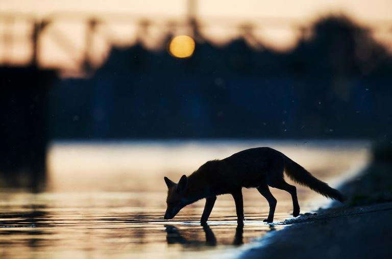 Handout photo from Wild Wonders of Europe shows an urban fox (Vulpes vulpes) drinking water in the sunset in an industrial part of London in May 2009 (AFP Photo/Laurent GESLIN)