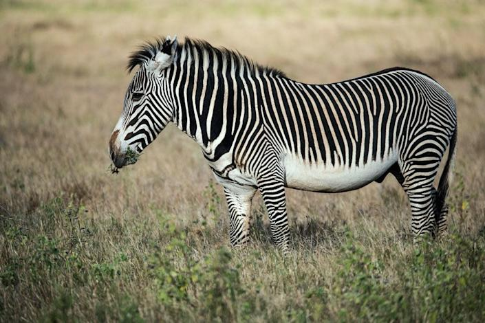 Grevy's zebras live only in Kenya and Ethiopia: Unsplash