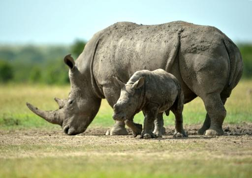 Artificial insemination of rhinos has rarely been attempted in zoos and there have only been a few births from this procedure in the past