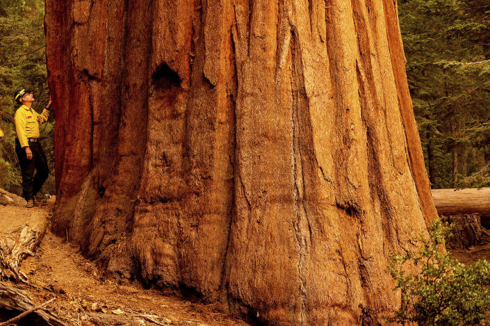 Mark Garrett, a fire information officer, examines a sequoia tree during a media tour of Lost Grove as the KNP Complex Fire burns about 15 miles away on Friday, Sept. 17, 2021, in Sequoia National Park, Calif. (AP Photo/Noah Berger)
