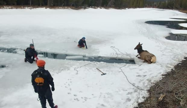 Rescuers sprang into action last Friday after an elk fell through thin ice on the Row River in Banff, Alta. Here is the elk after it had been removed from the waters. (Parks Canada - image credit)