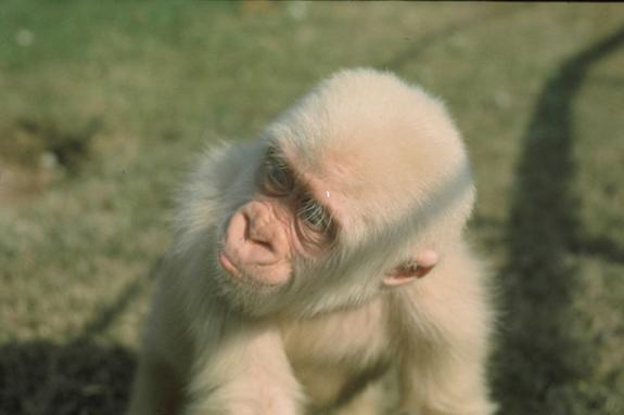 Snowflake the albino gorilla seen here when he was young. Snowflake was born in the wild and captured by villages in Equatorial Guinea in 1966. He lived most of his life at the Barcelona Zoo.