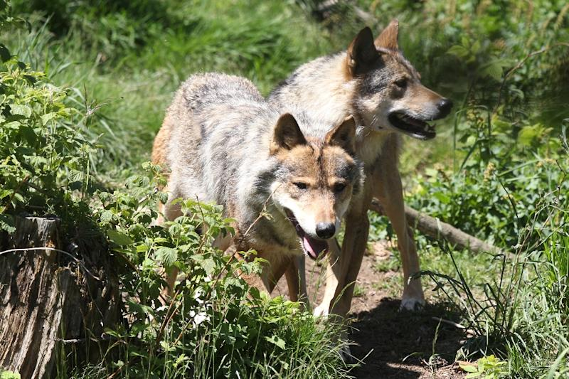 While their numbers are only a fraction of those found in Italy, Spain Romania or Poland, the predators have raised the hackles of farmers