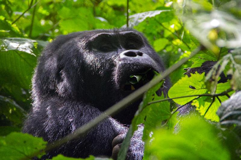 A silverback gorilla is seen eating leaves during a gorilla trek in Bwindi Impenetrable National Park, in Uganda, on May 24, 2014 (AFP Photo/Aimie Eliot)