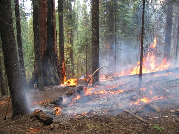 Prescribed burn in a giant sequoia grove in Kings Canyon National Park in California.