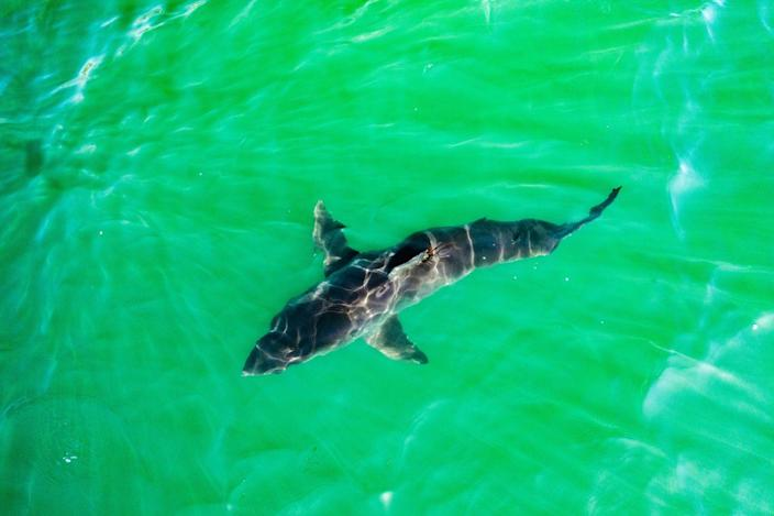An image of a shark off the Southern California coast