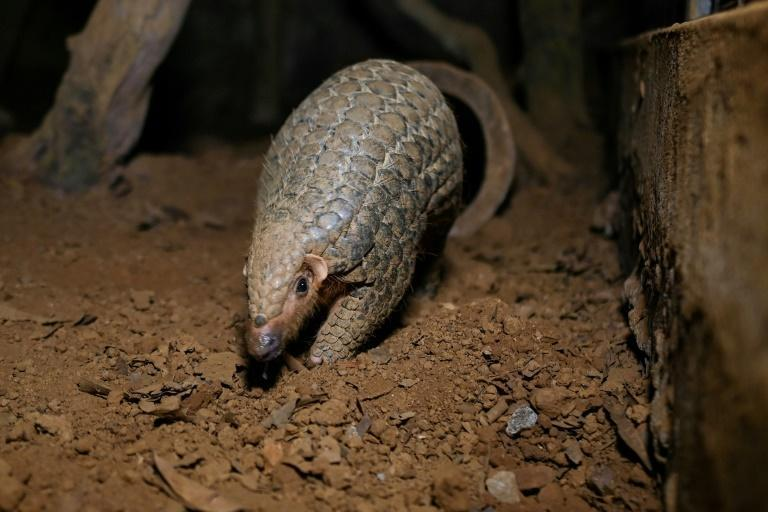 Pangolins are one of the world's most endangered animals and are seen as a delicacy for the mistaken belief that they can cure anything from impotence to even cancer