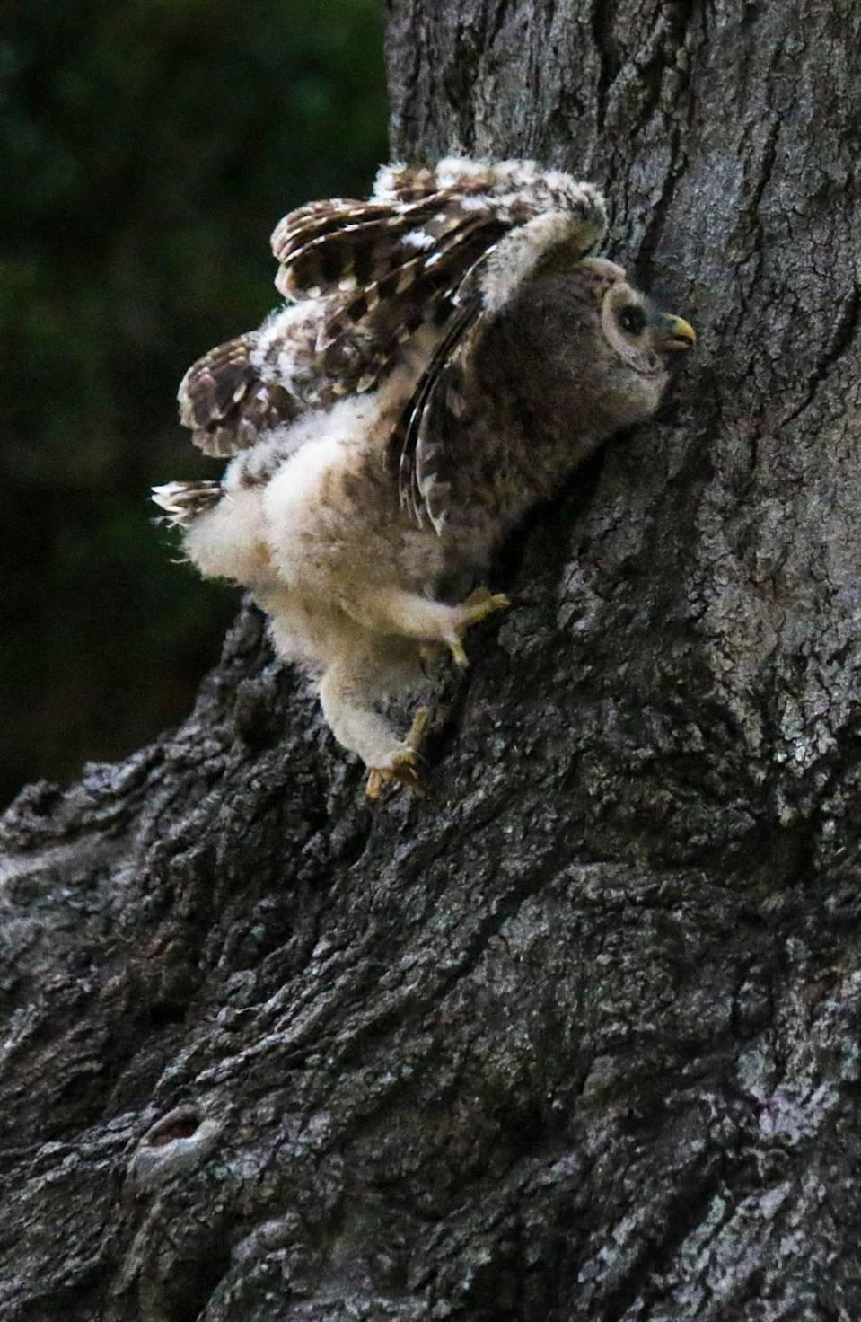 A baby Barred owl tries to climb up a tree to get back to its nest in a tree in Melrose Heights. Neighbors have been keeping an eye on the bird, who is too young to fly, and have made a nest for it, a little lower to the ground.