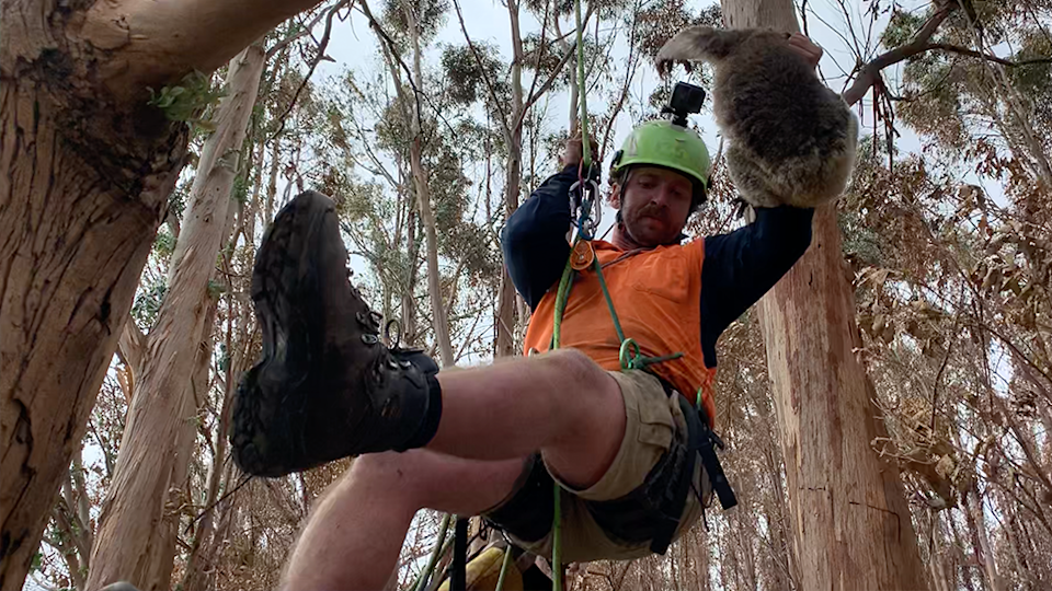 Arborist Kai Wild parasails down a tree holding a rescued burnt koala in a forest on Kangaroo Island.