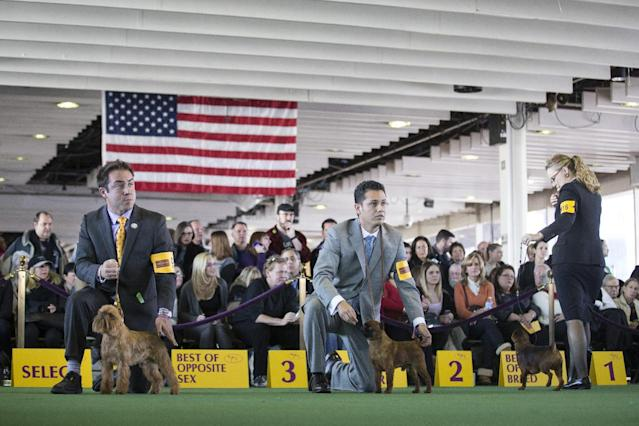 Participants in the Brussels Griffon competition wait for instructions during the Westminster Kennel Club dog show, Monday, Feb. 10, 2014, in New York. (AP Photo/John Minchillo)