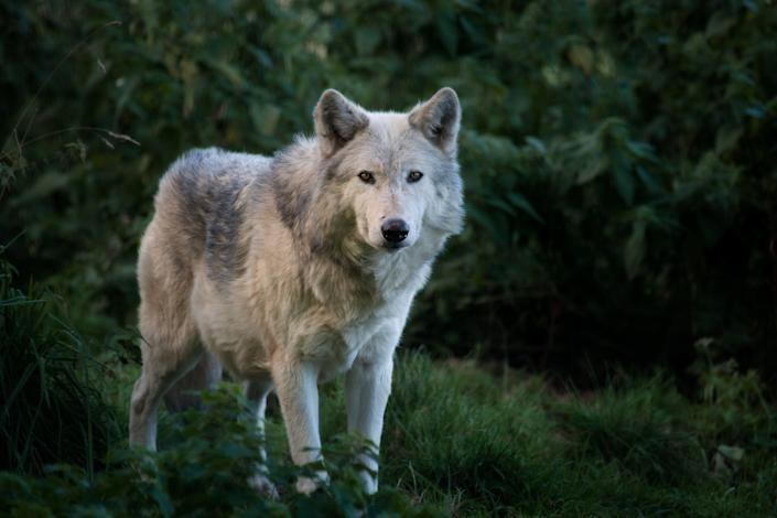 Beautiful wolf looking out from woodland.