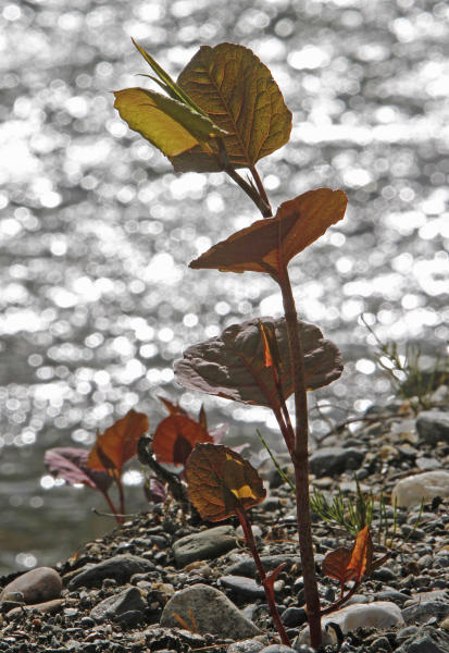 In this April 26, 2012, photo, Japanese knotweed grows on a stream bank in Bethel, Vt. The flood waters of Tropical Storm Irene and work to remove silt and restore roads afterward had an unintended consequence: they spread Japanese knotweed, an invasive plant that has already clogged some river banks and roadsides in Vermont. (AP Photo/Toby Talbot)