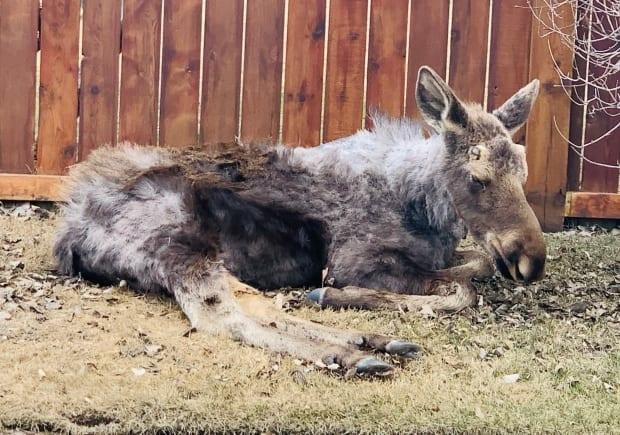 According to Holly Lillie, who is with the Alberta Institute for Wildlife Conservation,the two moose are likely ill due to ticks. (Submitted by Brittany Lauzon - image credit)