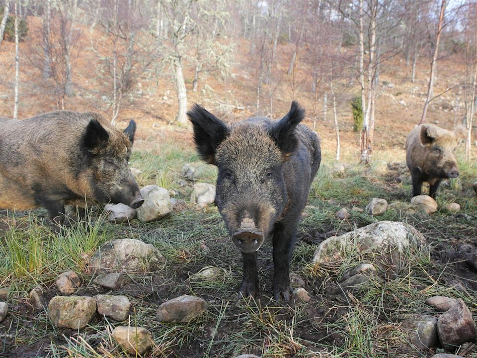 Wild boar are said to be moving into the more polluted areas of Sweden (file pic): Peter Jolly