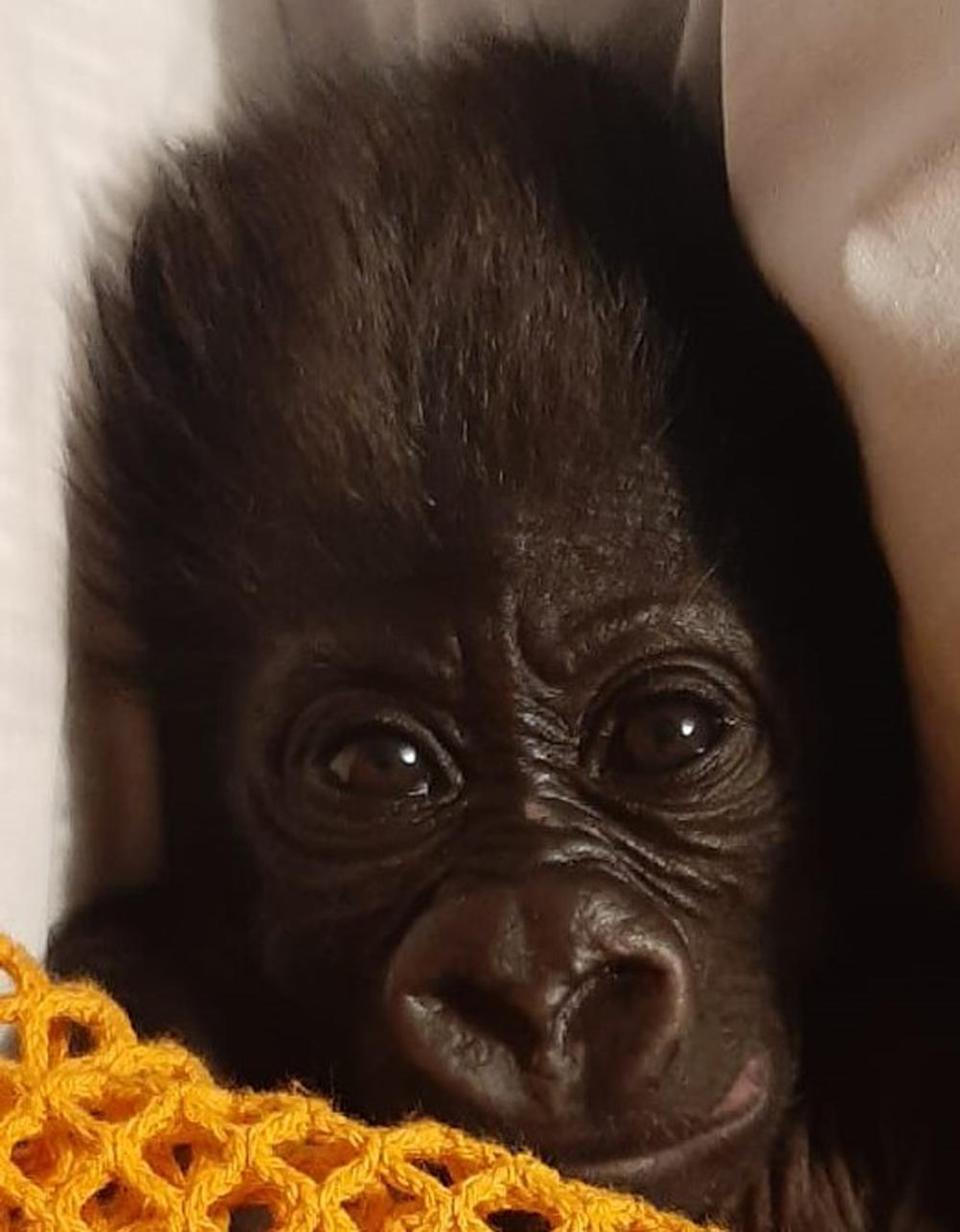The male gorilla is being hand reared by keepers (Bristol Zoo Gardens/PA)