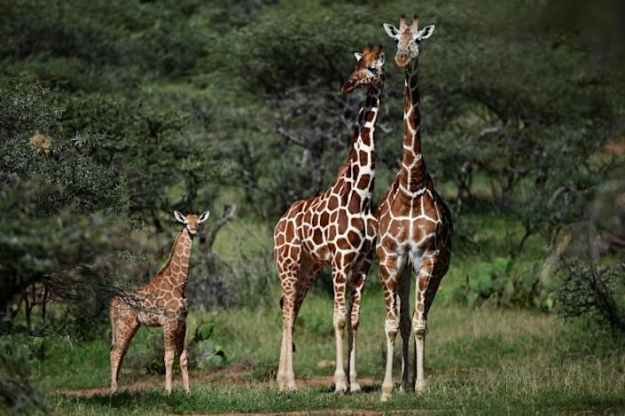 The African giraffe population as a whole has shrunk by an estimated 40 percent over the past three decades, to just under 100,000 animals, according to the best figures available to the International Union for Conservation of Nature (IUCN). (AFP Photo/TONY KARUMBA)
