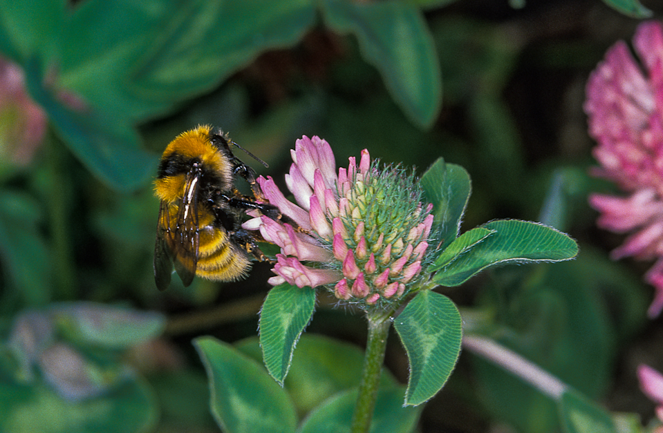 A great yellow bumblebee on a red clover