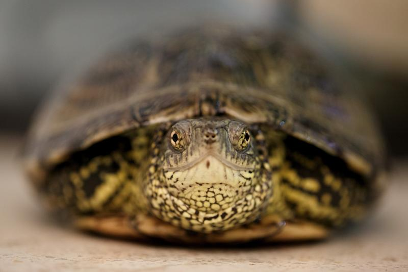 MAJADAHONDA, SPAIN - MARCH 16: A Galapago Europeo (European Pond Turtle or Emys Orbicularis) stands on a table as it recovers at the reptiles room in the GREFA hospital on March 16, 2017 in Majadahonda, near Madrid, Spain. The GREFA (Group of Rehabilitation of the Native Fauna and its Habitat) started in 1981, and has since treated over 40,000 animals, with 5600 last year. It is believed to be the largest group of its kind in Europe, treating endangered species like Black Vultures or Golden Eagles, or smaller birds, reptiles or other native species. Their aim is to release them back to their habitats, but when this is not possible the patients may be sent to fauna reserves, zoos or facilities for educational purposes. (Photo by Pablo Blazquez Dominguez/Getty Images)
