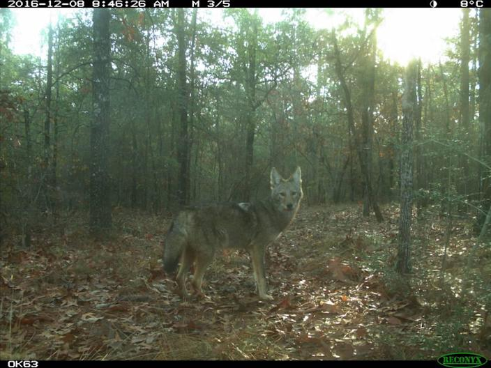 A coyote photographed with a trap camera in central North Carolina.
