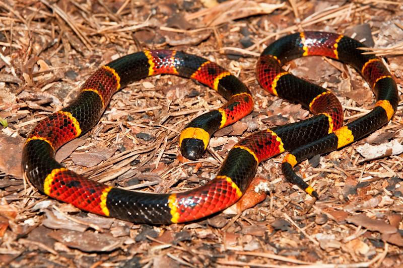 A close up of an Eastern Coral Snake