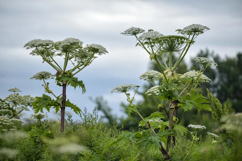 Hogweed is sprouting up everywhere due to the warmer weather. (SWNS)