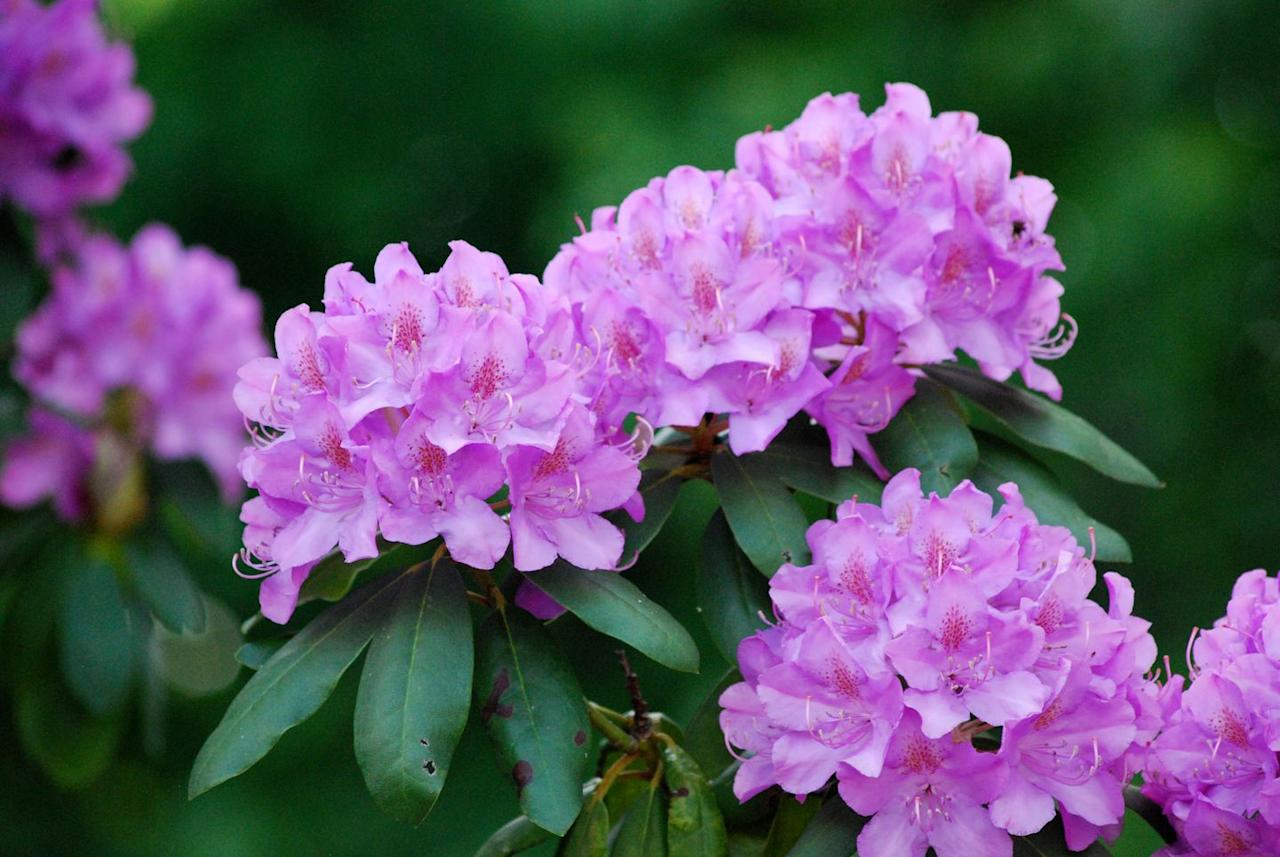 """<p><strong>Scientific Name:</strong> <em>Rhododendron spp</em><br></p><p>Like azaleas, <a href=""""https://www.aspca.org/pet-care/animal-poison-control/toxic-and-non-toxic-plants/rhododendron"""" target=""""_blank"""">rhododendrons</a> can cause severe gastrointestinal problems, heart arrhythmias, and problems with the central nervous system, according to Dr. Coates. These symptoms could start within just hours of ingestion. </p>"""