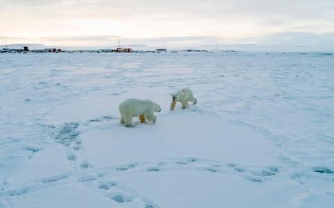 There have been increasing reports of polar bears approaching villages in Russia's Arctic in recent years - Credit: AFP