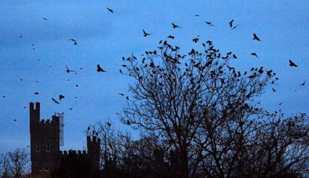PHOTO: Crows fly on the Illinois State University Quad at dusk, in Normal, Ill., Dec. 27, 2012. West Nile virus took a heavy toll in 2001, but since then they blackbirds have bounced back. (The Pantagraph/David Proeber via AP)