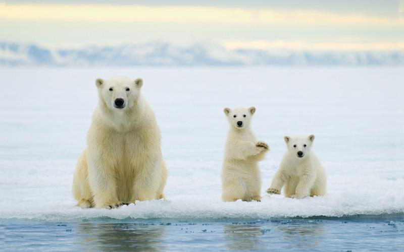 polar bears - Credit: Alamy
