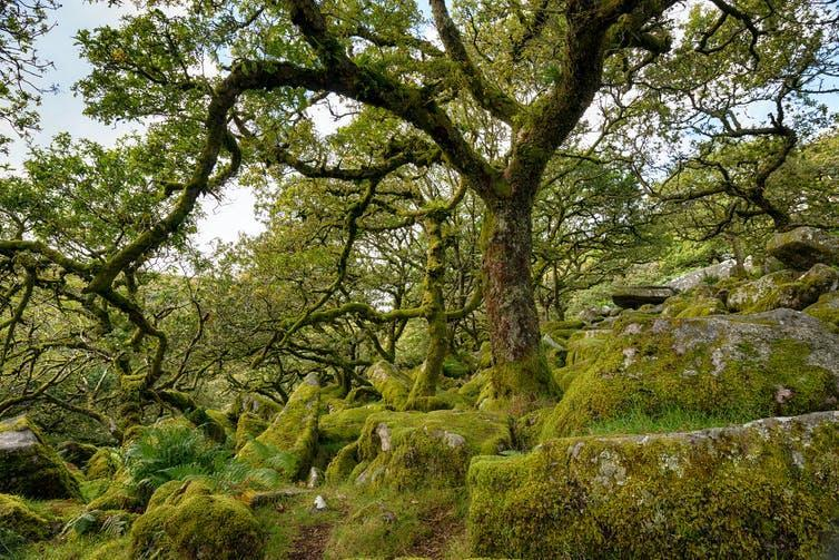 Gnarled oak trees grow out of mossy boulders.