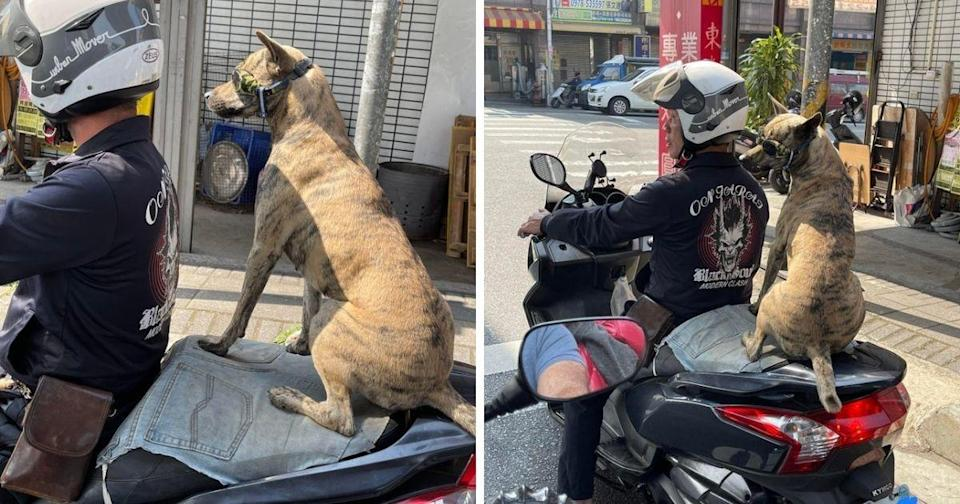 <p>A 'cool' Formosan mountain dog was spotted riding on the back of a scooter in Taichung. (Photo courtesy of Diego Gonzalez)</p>