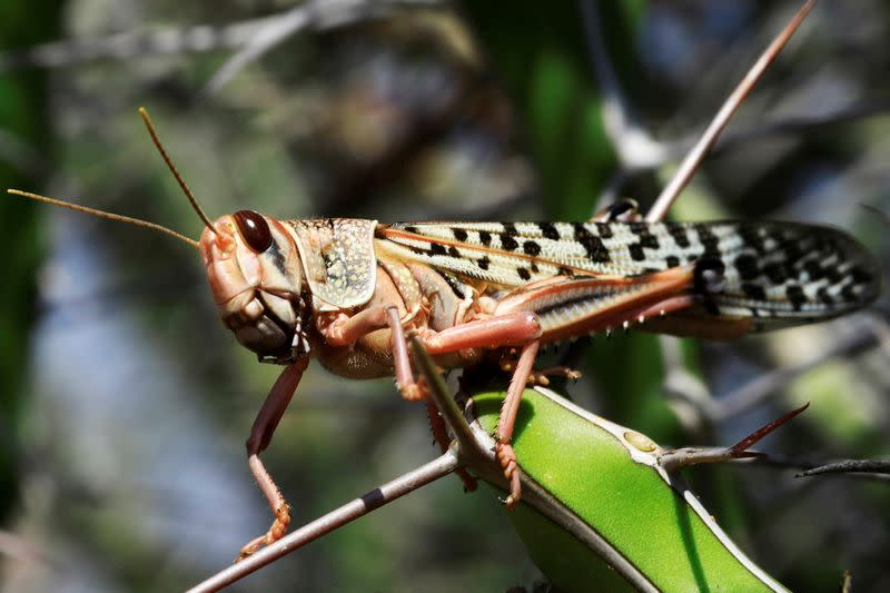 FILE PHOTO: A desert locust is seen feeding on a plantation in a grazing land on the outskirt of Dusamareb in Galmudug region