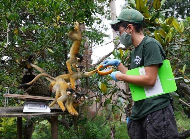 Keeper Rowan Swainson with squirrel monkeys during the annual weigh-in at ZSL London Zoo