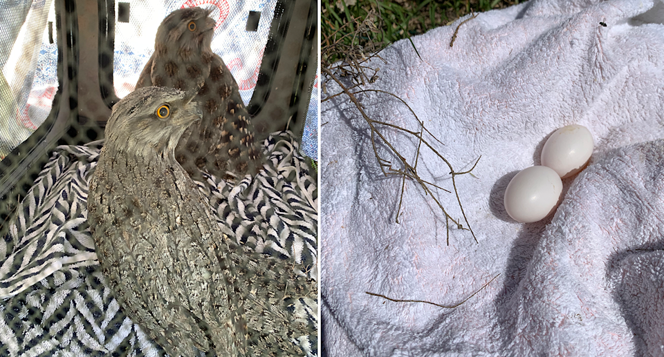 The rescued tawny frogmouths (left) and their surviving eggs (right) returned to them. Source: Michael Dahlstrom