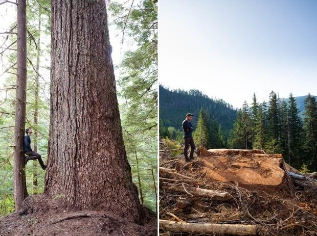 A before and after photo of a Douglas Fir in the Nahmint Valley.