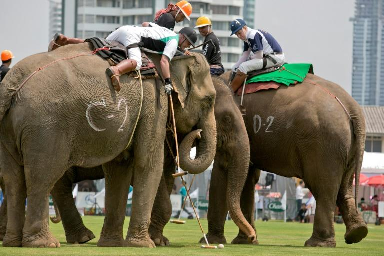 The cup has raised $1.5 million for charities that help Thailand's wild and domesticated elephants