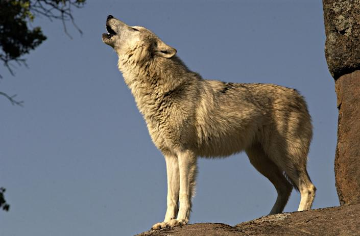 Gray wolf (Canis Lupus) also known as the Timber wolf. Standing on rock, howling. Controlled situation in the Yosemite area of CA. USA