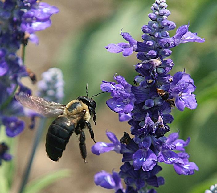 The dramatic decline of bees has already compromised the quantity and quality of many nutrient-rich crops that depend on the transfer of pollen to bear fruit (AFP Photo/Karen Bleier)