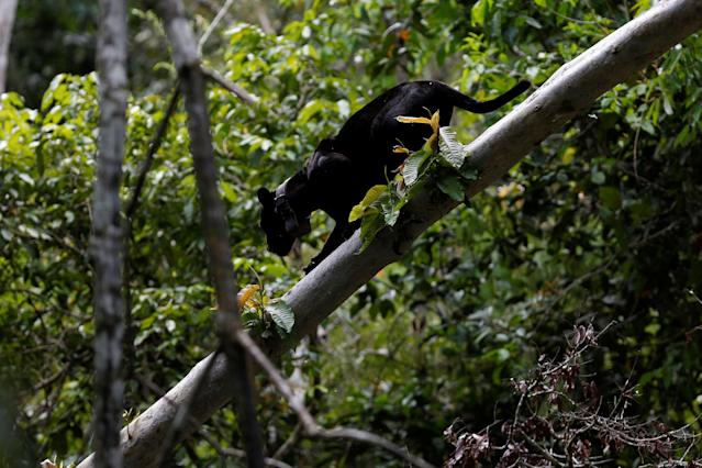 <p>A black male jaguar climbs down a tree branch at the Mamiraua Sustainable Development Reserve in Uarini, Amazonas state, Brazil, June 1, 2017. (Photo: Bruno Kelly/Reuters) </p>