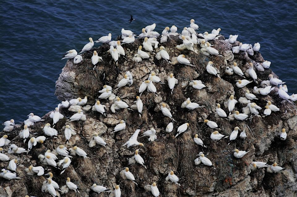 <strong>The UK's kittiwake population has declined by 70% since 1986</strong> (Photo: PA Archive/PA Images)