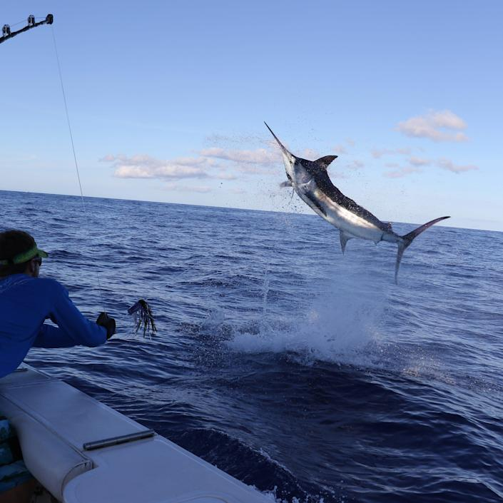 Fieri learned to marvel at the marlins on his charter fishing trip with Maui & # x002019; s Piper Sportsfishing.